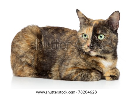 Tortoise-colored cat lying on a white background - stock photo