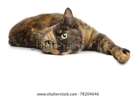 Tortoise-colored cat sitting dangling paw on a white background - stock photo