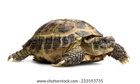 tortoise full-length closeup profile view isolated on white - stock photo