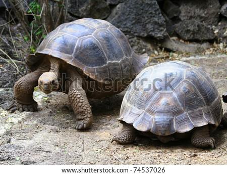 Tortoise Highway - Galapagos Islands - stock photo