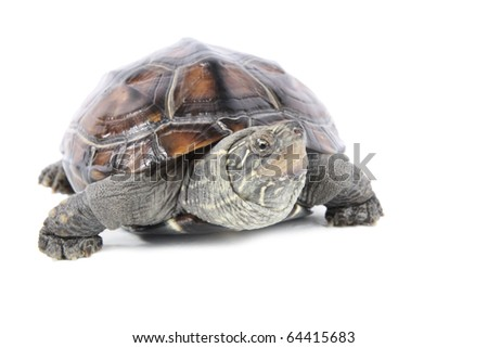 tortoise in front of a white background - stock photo