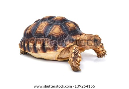 tortoise isolated on white. - stock photo
