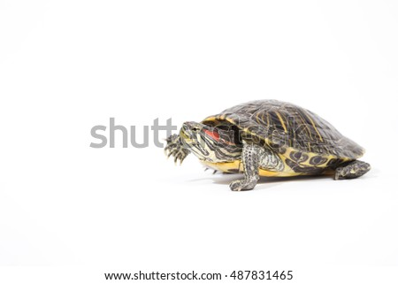 tortoise, isolated on white background