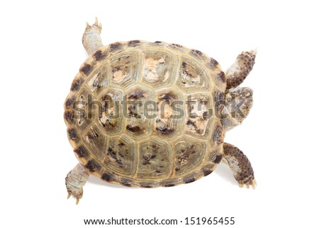 tortoise isolated on white. top view - stock photo