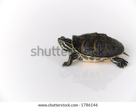 tortoise on white background - stock photo