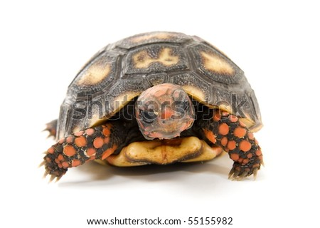 Tortoise on white - studio shot of,