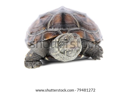 tortoise poked his head with white background - stock photo