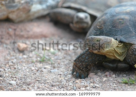 Tortoise's are a family of reptiles that dwell on land.  - stock photo