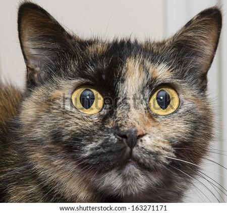 Tortoise shell cat portrait, close up. - stock photo