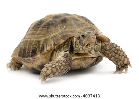 tortoise; shell; desert; reptile; turtle; climate; remote; scale; dry; animal; arid; isolated; endurance; patience; crawling; motion; persistence; laziness; slow; boredom - stock photo