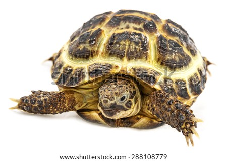 tortoise - testudo horsfieldii - stock photo