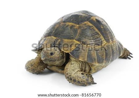 tortoise turtle Testudo graeca ibera - stock photo