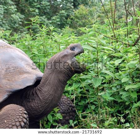 Herbivore Eating Fruit Eating Animal St...