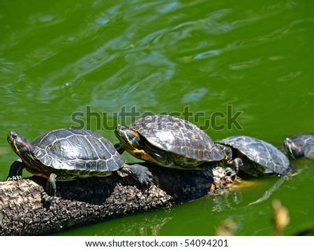 Tortoises Doing Sunbath - stock photo