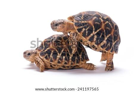 Tortoises mating isolated on white background - stock photo