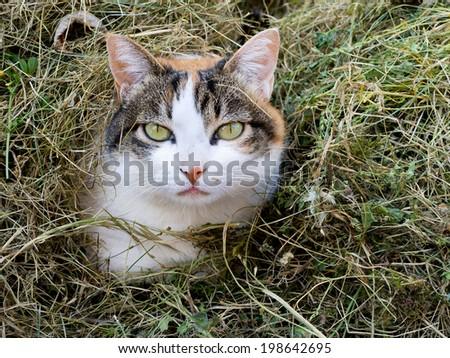 Tortoiseshell aka calico cat hiding in grass cuttings - stock photo