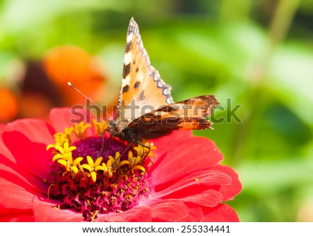 Tortoiseshell Butterfly (Aglais urticae) on a red flower - stock photo