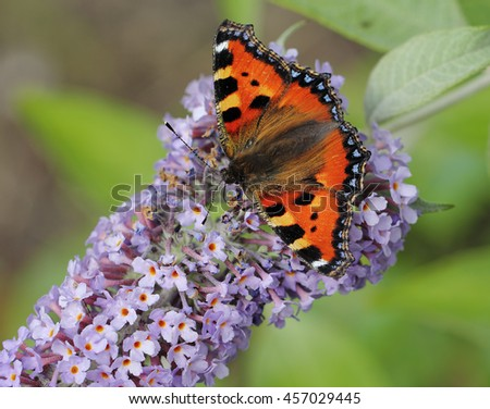 Tortoiseshell butterfly (Aglais urticae) on bush of buddleia
