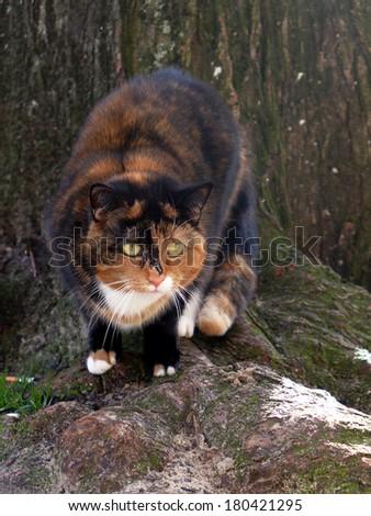 tortoiseshell cat - stock photo