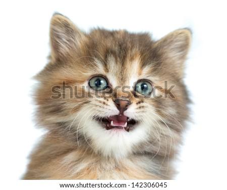 Tortoiseshell kitten closeup portrait - stock photo