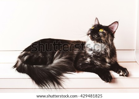 Tortoiseshell purebred maine coon cat lying on kitten house on natural white wooden background. Mainecoon serious grey kitty. - stock photo