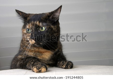 Tortoiseshell Tabby Cat sitting at the table waiting for food - stock photo