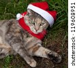 Tortoiseshell-Tabby (Torbie) Cat looking festive in a Christmas Santa hat and scarf - stock photo
