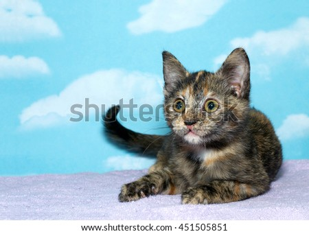 tortoiseshell torbie tabby kitten laying on a purple blanket, blue background with cloud pattern. The tortie pattern is only present in female tabby cats, a recessive trait.  - stock photo
