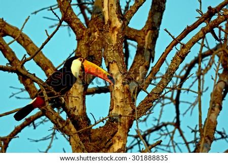 toucan - stock photo