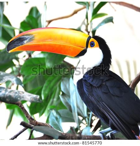 Toucan bird - stock photo