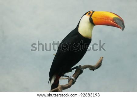 Toucan bird closeup - stock photo
