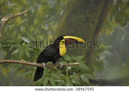 Toucan bird on a limb in the rain forest