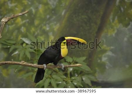 Toucan bird on a limb in the rain forest - stock photo