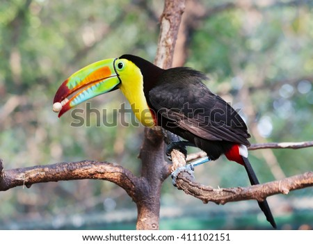 Toucan bird with a nut in its beak sitting on a branch. Toucans with their huge beak look like they were drawn by a child. These curious birds and-wives - some of the most noisy in the jungle. - stock photo