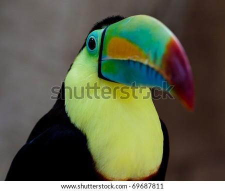 toucan closeup - stock photo