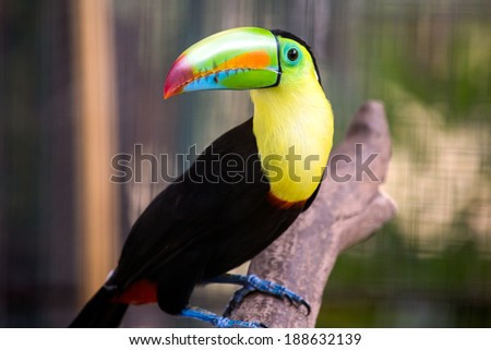 Toucan found in the Summit Park in Gamboa, Panama. - stock photo