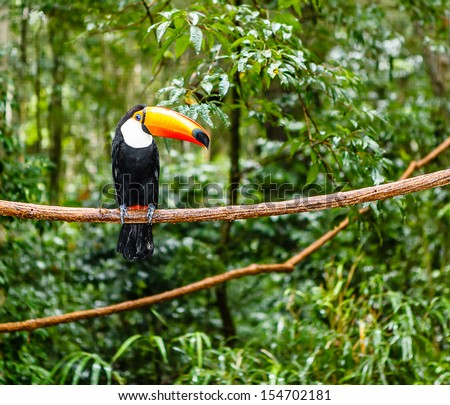 toucan in rain forest with tree and foliage, early in the morning after rain. - stock photo