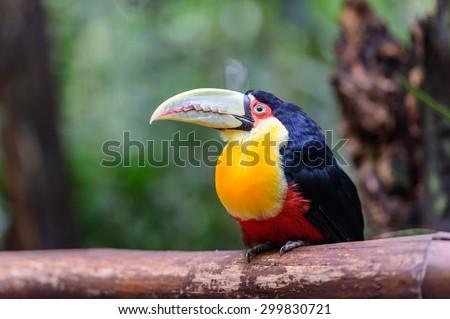Toucan, National park Iguazu, Brazil - stock photo