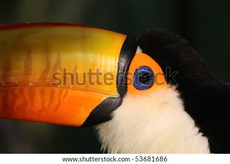 Toucan portrait closeup - stock photo