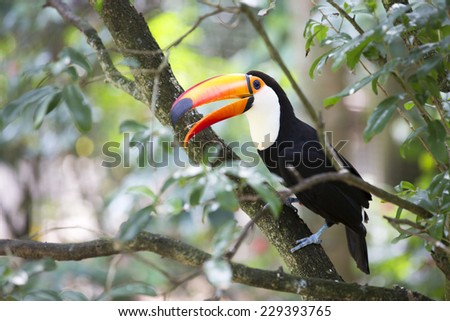 Toucan (Ramphastos toco) sitting on tree branch. - stock photo