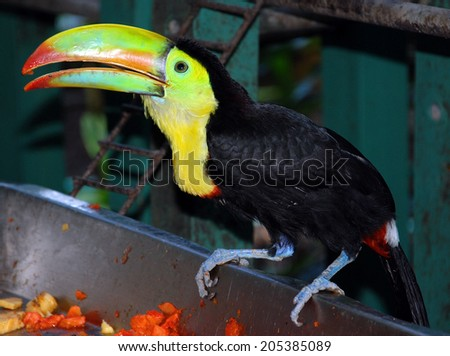Toucans are members of the family Ramphastidae of near passerine birds from the Neotropics. The Ramphastidae family is most closely related to the American barbets. - stock photo