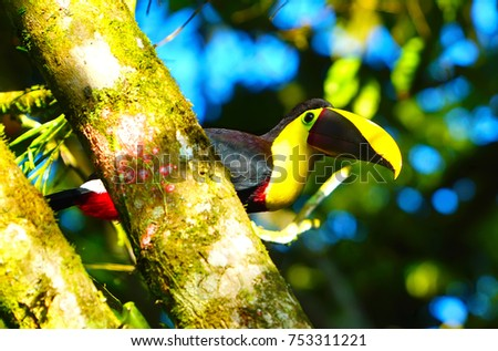 toucans of the rain forest chestnut-mandibled toucan