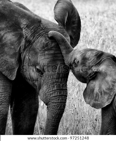 Touching Black and White Picture of Baby Elephant in Poignant Pose With Its Mother - stock photo