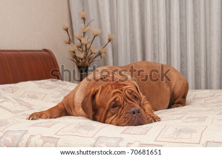 Touching dog of French Mastiff breed is missing her master lying on his bed - stock photo