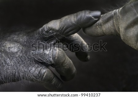 Touching fingers of a gorilla