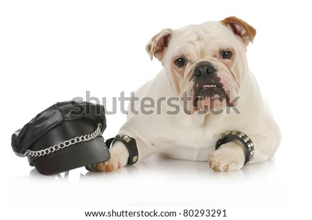 tough dog - english bulldog dressed up like a biker on white background - stock photo