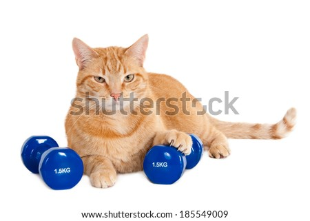 Tough looking ginger cat with two dumbbells of 1.5 kg, isolated on a white background - stock photo