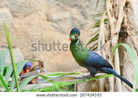Touraco rare tropical bird - stock photo