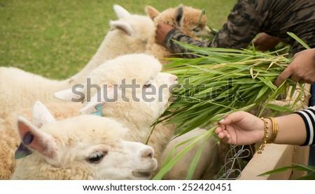tourist feeding green ruzi grass leaves to llama alpacas in setting animals farm ,selection focus - stock photo