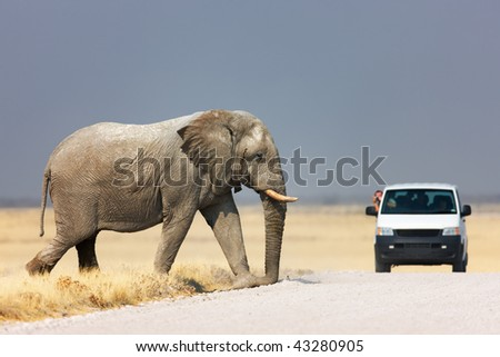 Tourist leaning out of vehicle to photograph an elephant walking over road; Etosha - stock photo